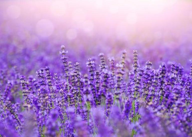 Lavender_Fields_3edbcbe8-87bd-4cc4-919f-90603588b843_800x.jpg